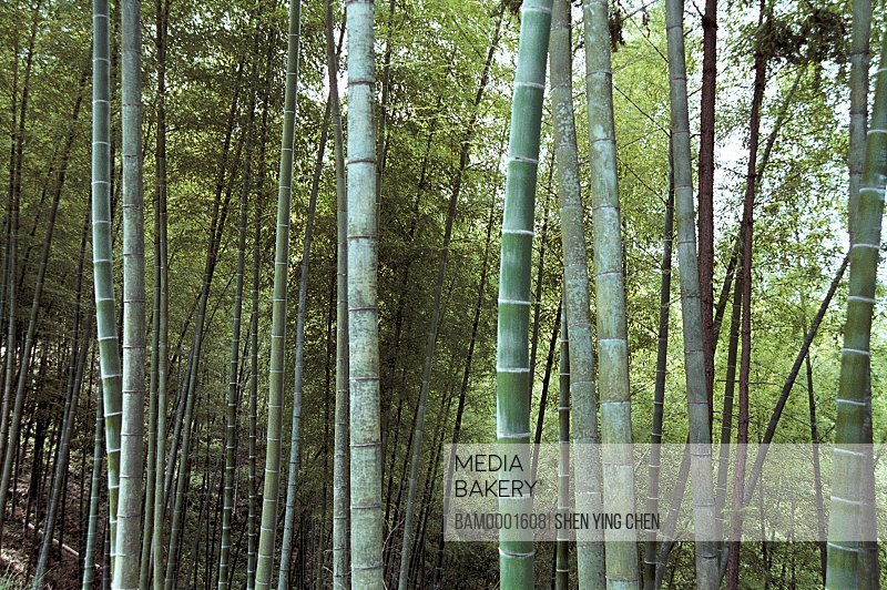Bamboo groves in forest, Youshan bamboo grove of Shoushan mountain, Shoushan Township, Fuzhou City, Fujian Province of People's Republic of China