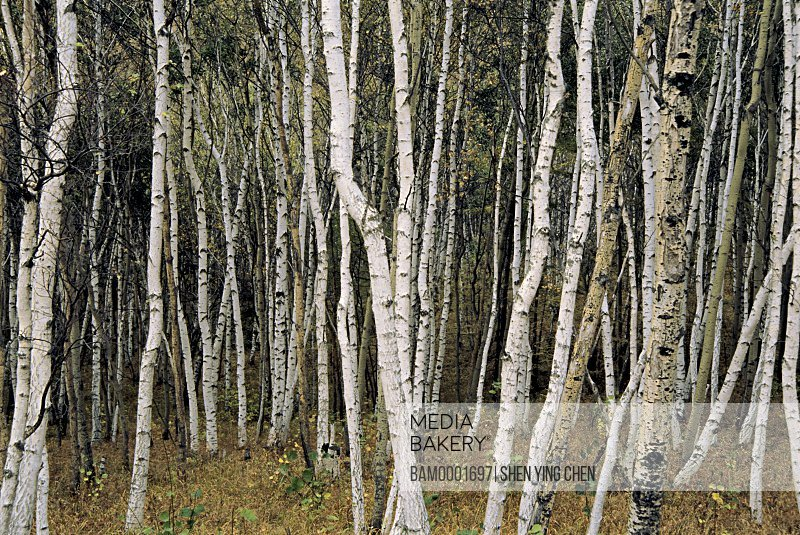 View of tree trunks in forest, White birch forest on Wucai Mountain of the Sehanba, Saihanba Prairie, Fengning County, Hebei Province of People's Republic of China