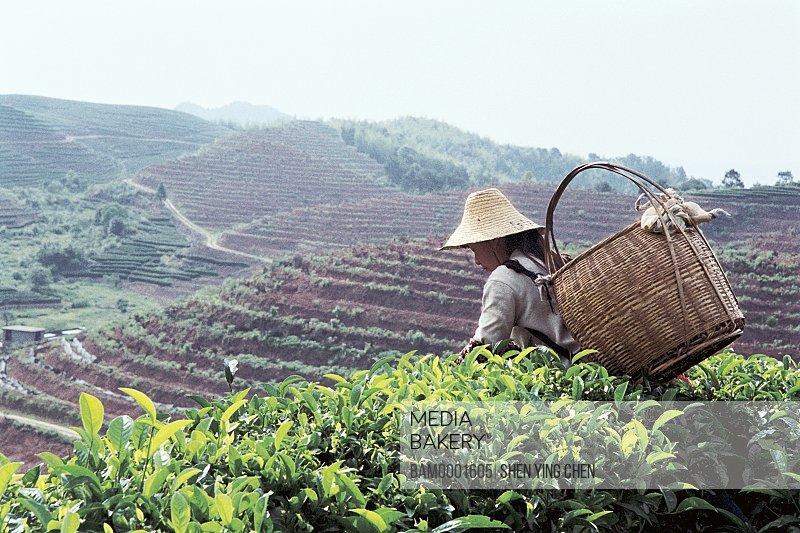 Young woman picking tea in the Youshan tea garden, Shoushan Township, Fuzhou City, Fujian Province of People's Republic of China