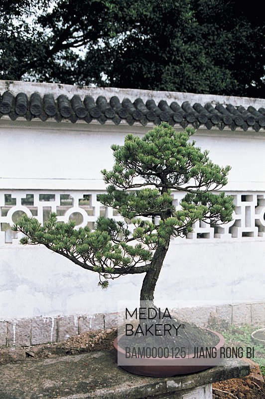View of a tree by a wall, Pine Bonsai in Jiangxin Temple, Wenzhou City, Zhejiang Province, People's Republic of China