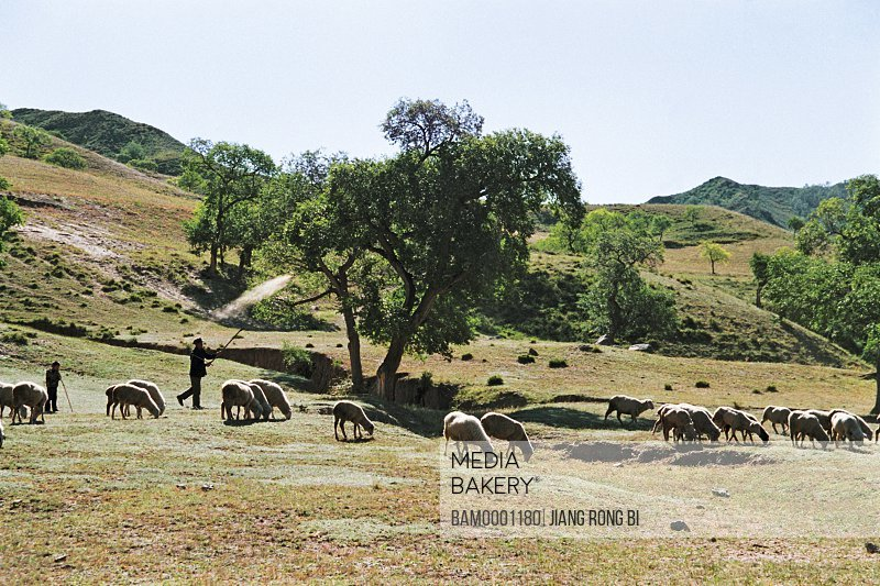 Shepherd with sheep by trees, Guyuan County, Hebei Province of People's Republic of China