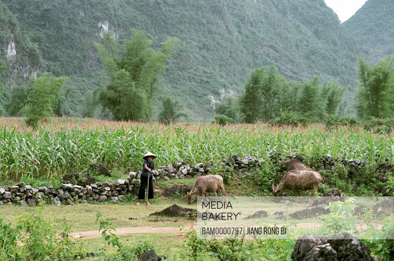 Cowherd woman tending cattle with field and mountains in the background, scenic spot of Detian, Daxin County, Nanning City, Guangxi Zhuang Nationality Autonomous Region of People's Republic of China