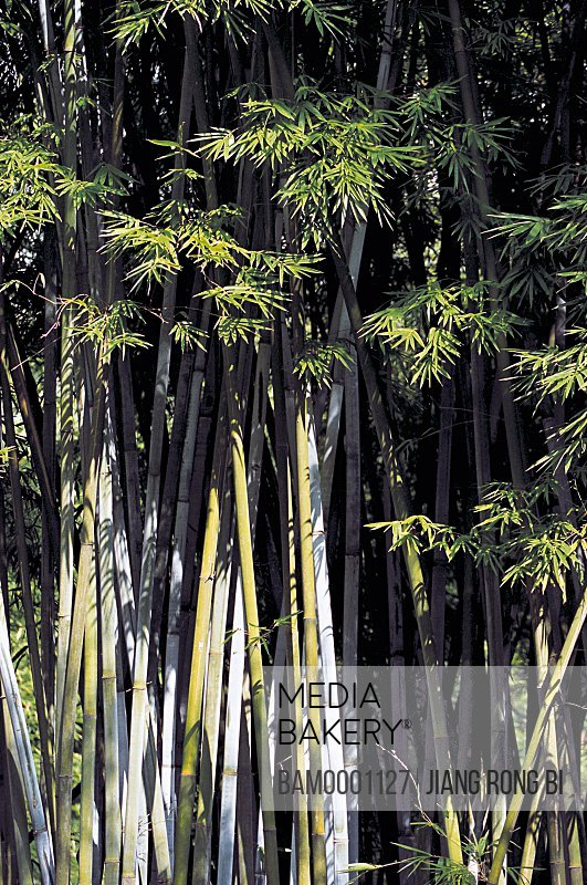 Bamboo trees in forest, The bamboo gardens in the forest park, Fuzhou City, Fujian Province, People's Republic of China