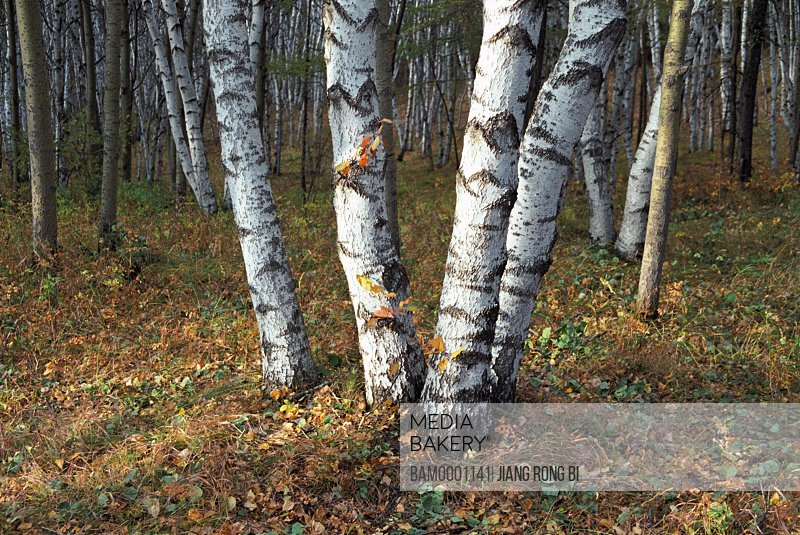 Close-up of tree trunks of white birch in dense forest, The trunk of white birch on Bashang Prairie, Fengning County, Hebei Province of People's Republic of China