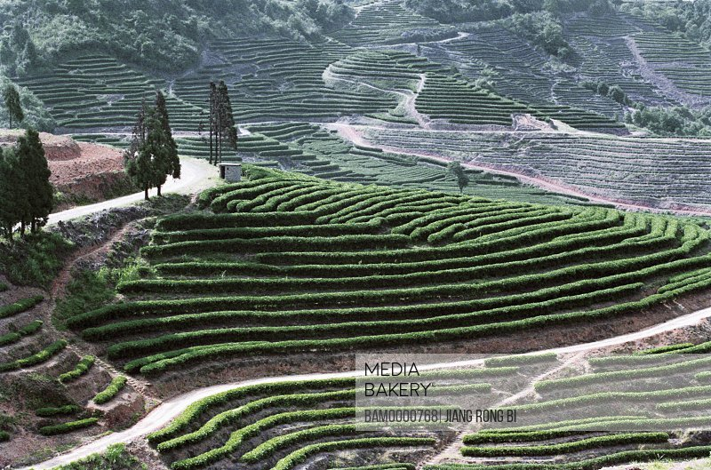 Elevated view of tea garden, The stream of official repress the tea place, Jin'an District , Fuzhou City, Fujian Province, People's Republic of China