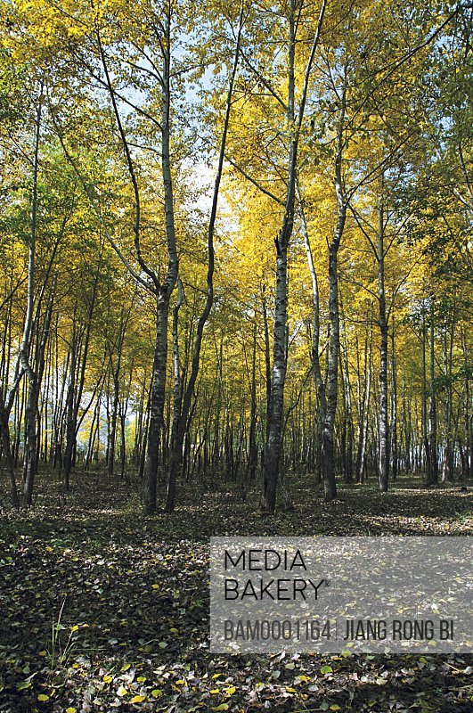 Trees in dense forest, Birch forest by the Levin Lake , Guyuan County, Hebei Province of People's Republic of China