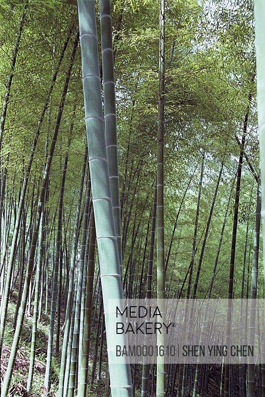 Bamboo groves in forest, Youshan bamboo grove of Shoushan mountain, Shoushan Township, Fuzhou City, Fujian Province of People's Republic of China