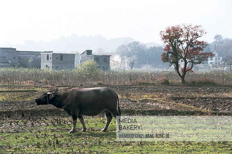 Farm Cattle in Field in Tachuan Village , Yixian County, Anhui Province, PRC