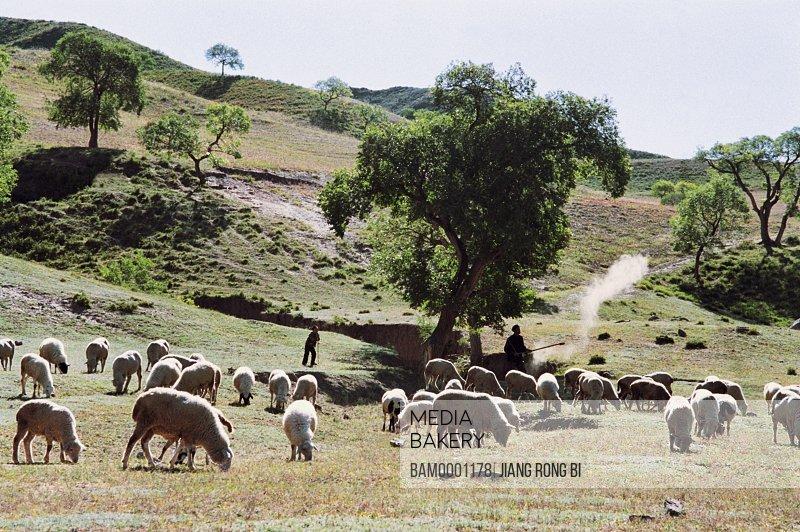 Sheep grazing on grassland by mountain, Shepherd and crowd of sheep, Guyuan County, Hebei Province of People's Republic of China