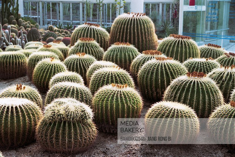 Cactus plants Botanic Garden , Xiamen City, Fujian Province, People's Republic of China