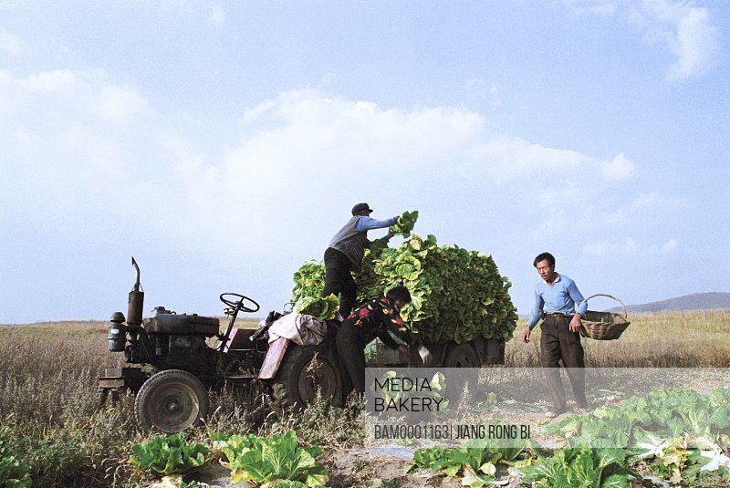 Men loading cabbages on tractor, The pleasant loads the chinese cabbage with the tractor, Guyuan County, Hebei Province of People's Republic of China