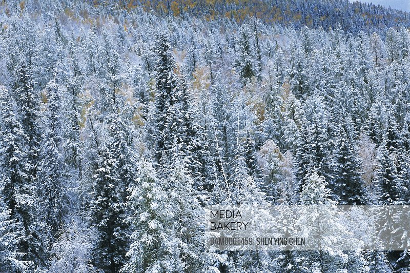 Elevated view of tree covered with snow, The early winter of the Kenasi, Buerjin County, Xinjiang Uygur Autonomous Region of People's Republic of China