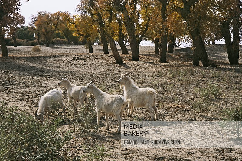 Goats feeding on a field with trees in the background, Two Bridge diversiform-leaved poplar forest, Two Bridge, Ejinaqi, Inner Mongolia Autonomous Region of People's Republic of China