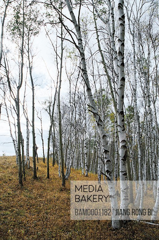 Birch forest on the dam, Mulan surround field, Hebei Province of People's Republic of China
