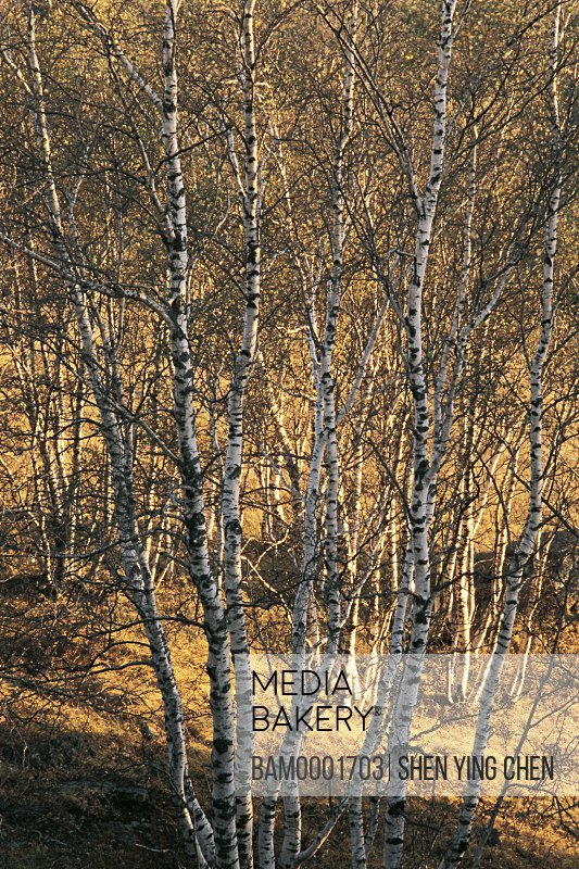 View of bare trees in forest, White birch forest in World geology park Arab League Si Hatu in hoodoo park, Keshiketengqi, Chifeng City Inner Mongolia Autonomous Region of People's Republic of China