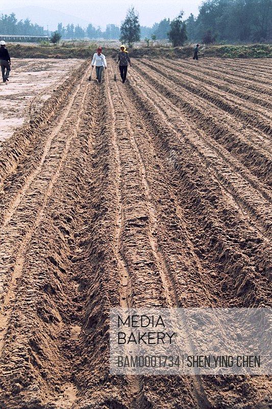Farmers working in farm, The Pingtan County Famer plants the radish, Pingtan County, Fujian Province of People's Republic of China