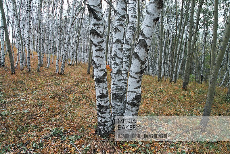 View of tree trunks of white birch in dense forest, The trunk of white birch on Bashang Prairie, Fengning County, Hebei Province of People's Republic of China