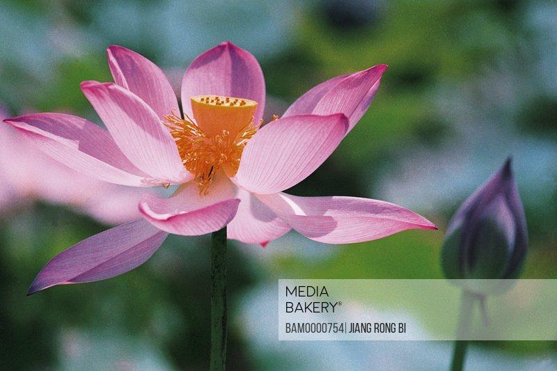 Close-up lotus in Tea Stall Park, Fuzhou City, Fujian Province of People's Republic of China