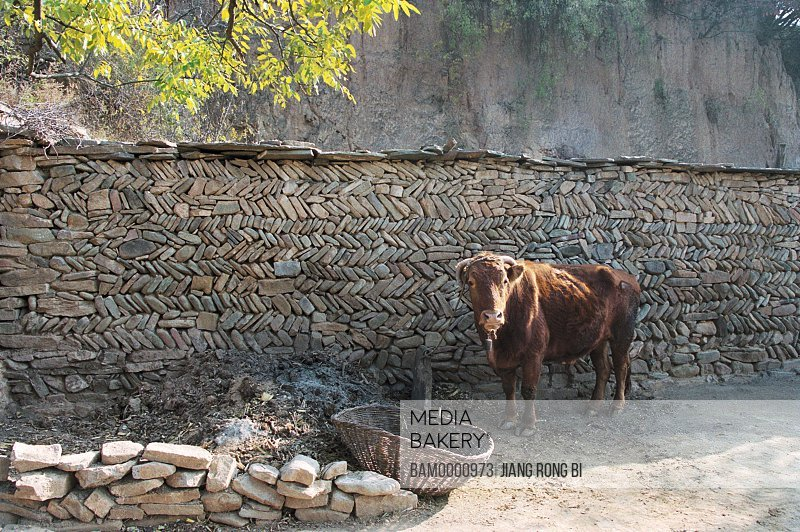 View of a cow standing by wall, Chenjiazhuang Village, Yichuan County, Yan'an City, Shanxi Province, People's Republic of China