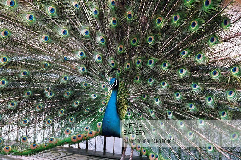 Green peacocks in the forest park, Fuzhou City, Fujian Province, People's Republic of China