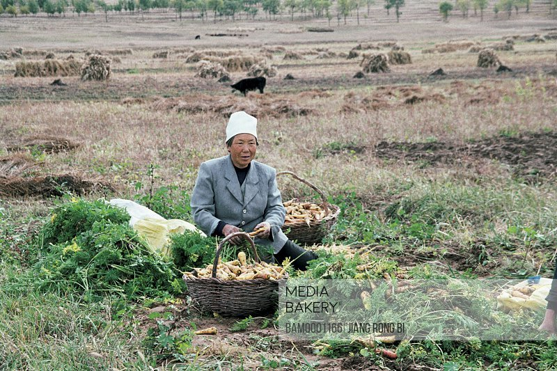 Mature man sitting by baskets radish in the field, Old woman are reapping carrot , Guyuan County, Hebei Province of People's Republic of China