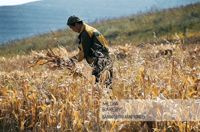 View of a man working in field, The boys reapping wheat, Guyuan County, Hebei Province of People's Republic of China