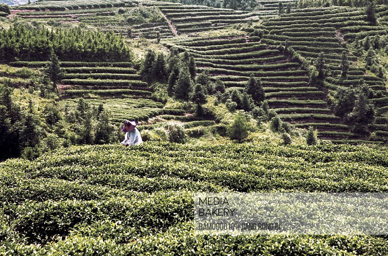 Person plucking leaves in tea garden in spring, Huanxi Town, Jin'an District , Fuzhou City, Fujian Province, People's Republic of China
