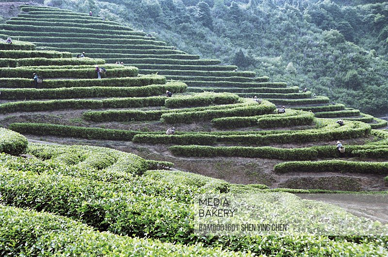 Landscape of terraced tea gardens, The workers pick the tea in the Youshan tea garden, Shoushan Township, Fuzhou City, Fujian Province of People's Republic of China