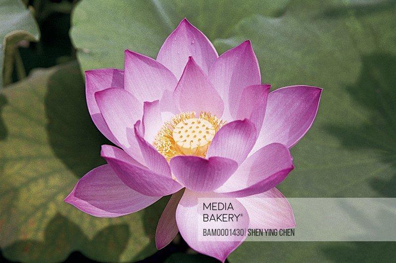 Close-up of a pink lotus, Tea Stall Park, Fuzhou City, Fujian Province of People's Republic of China