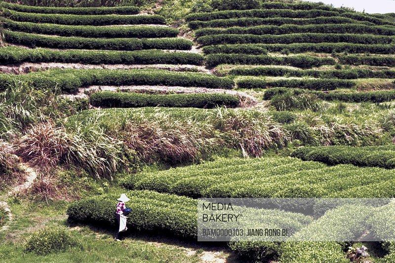 Person plucking leaves in tea garden in spring, Huanxi Town, Jin'an District , Fuzhou City, Fujian Province, People's Republic of China