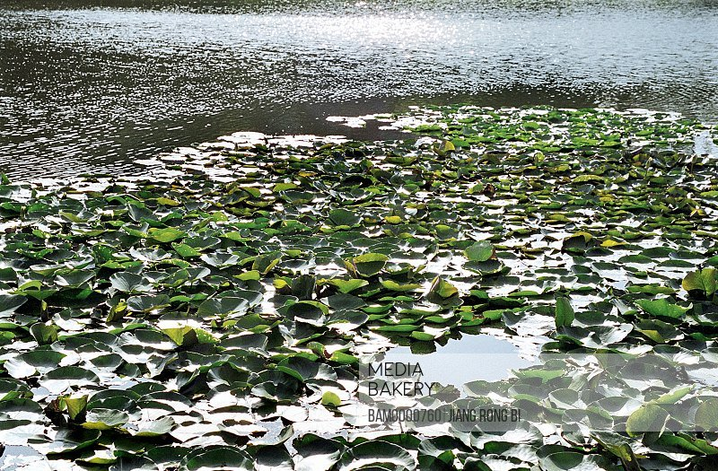 Elevated view of lotus leaves floating on water, Tea Stall Park, Fuzhou City, Fujian Province of People's Republic of China