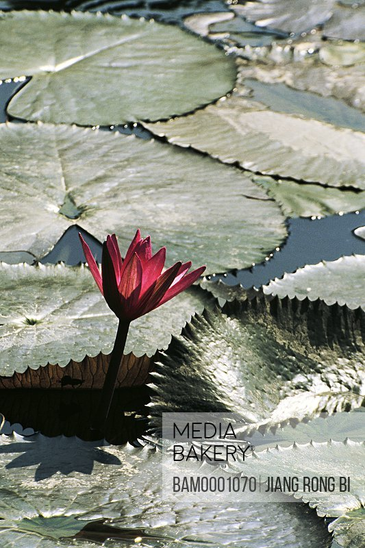 Elevated view of a lotus in a pond, Tea Stall Park, Fuzhou City, Fujian Province of People's Republic of China