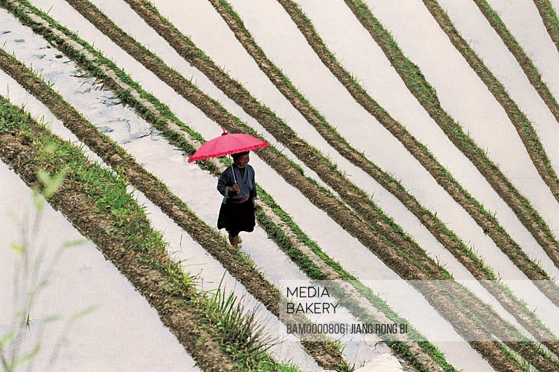 Elevated view of a woman with umbrella walking in the terraced field, The Yao minority people, Longsheng County, Guilin City, Guangxi Zhuang Nationality Autonomous Region of People's Republic of China