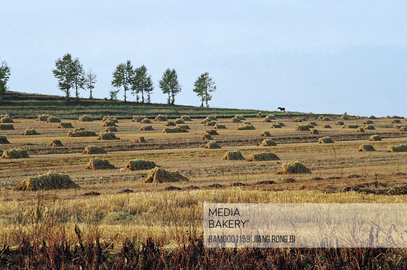 View of field with stacks of fodder, Rurality scenery of Saibei, Guyuan County, Hebei Province of People's Republic of China