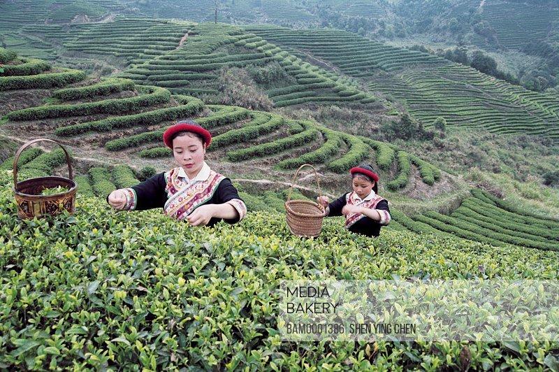 She race girls pick the tea in the Youshan tea garden, Youshan tea garden, Beifeng Town, Fuzhou City, Fujian Province of People's Republic of China
