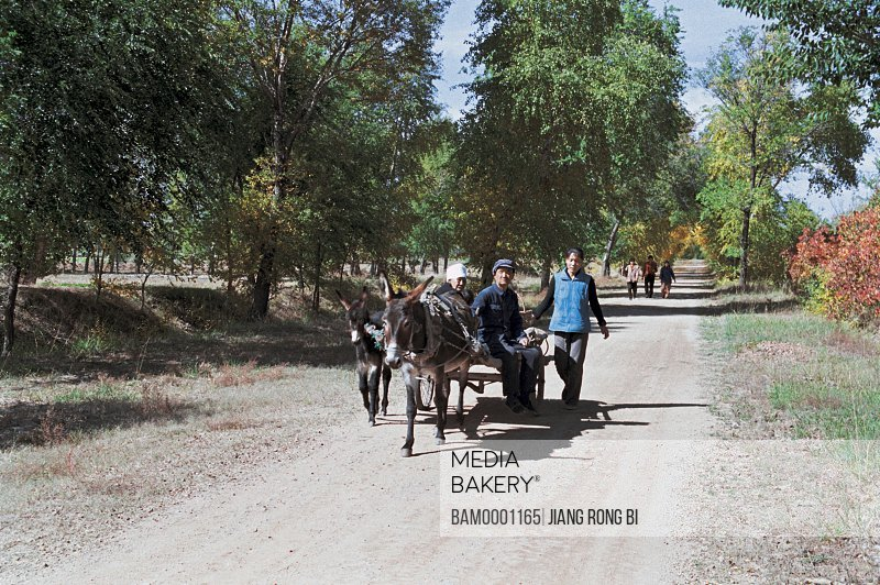 Men traveling in donkey cart by trees, The peasants going back by the donkey cart, Guyuan County, Hebei Province of People's Republic of China