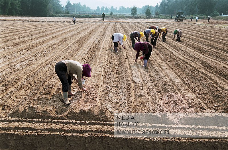 Farmers plowing farm, The Pingtan County Famer plants the radish, Pingtan County, Fujian Province of People's Republic of China