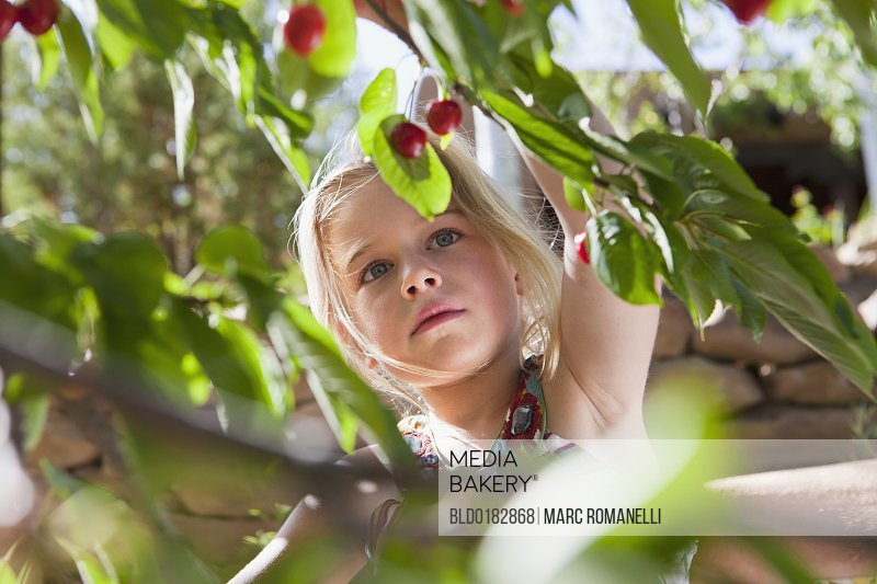 Caucasian girl picking cherries