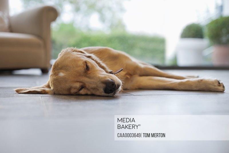 Dog sleeping on living room floor