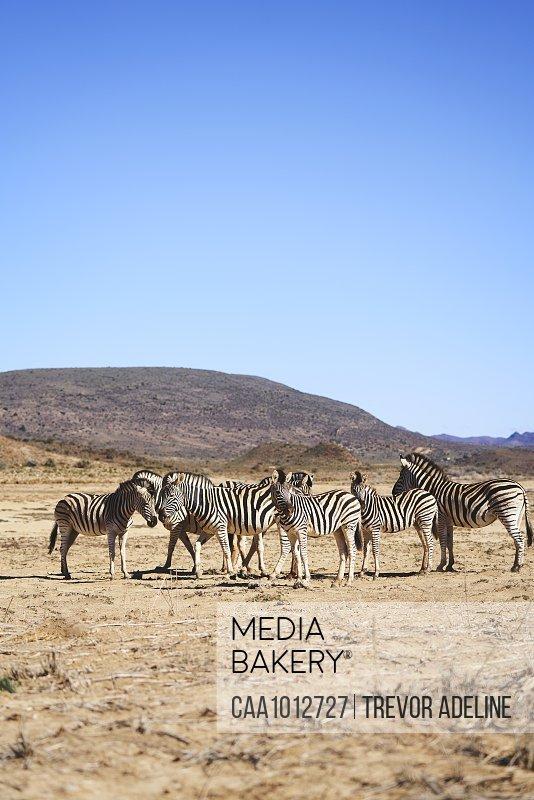 Zebras on sunny wildlife reserve Sanbona Cape Town South Africa