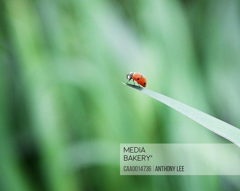 Ladybug on tip of leaf