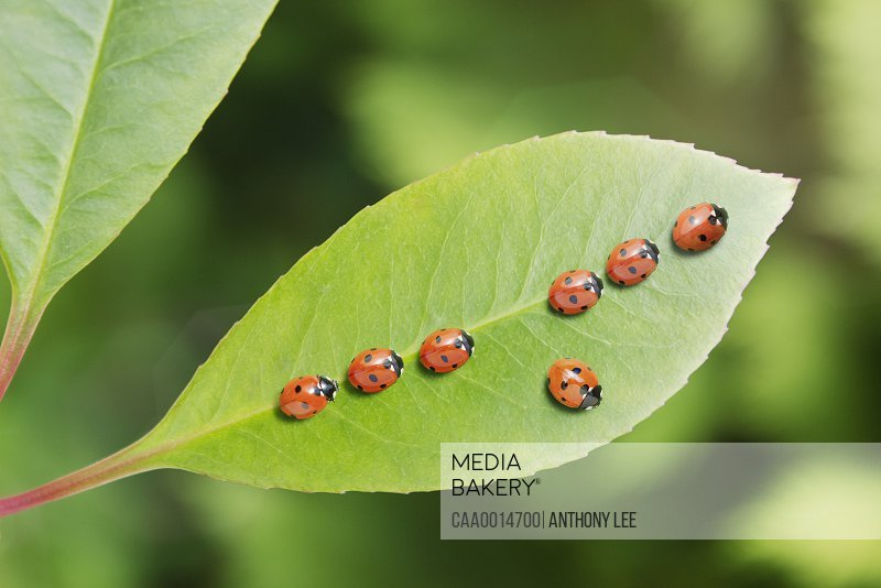 Ladybug standing out from the crowd on leaf