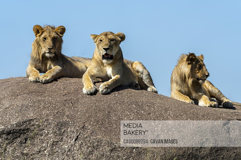 three lions rest in the sun on a rock