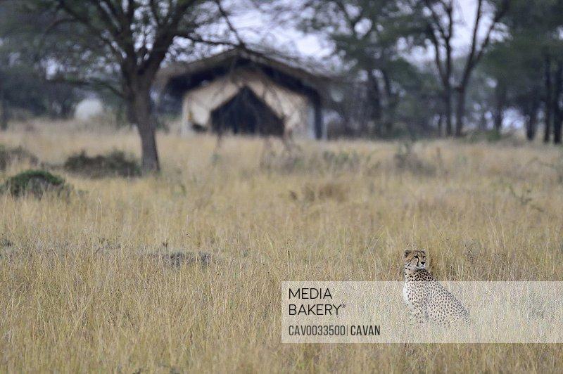 A cheetah watches safari viewers