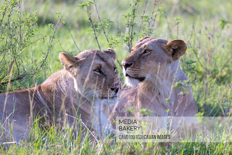 Lionesses lie in the grass and try to rest