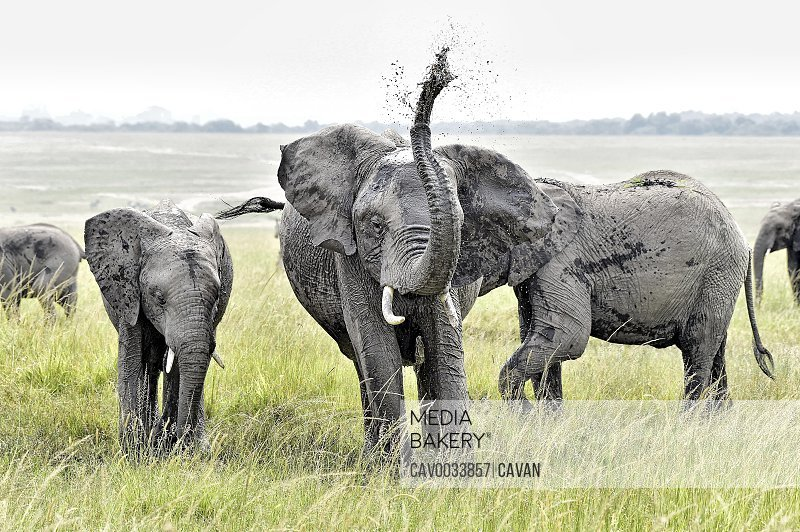A group of young elephants play in a watering hole on the savannah