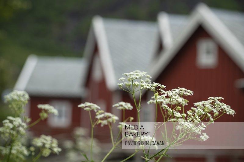 Summer wildflowers outside red Rorbu cabins, Reine, Moskenesøy, Lofoten Islands, Norway