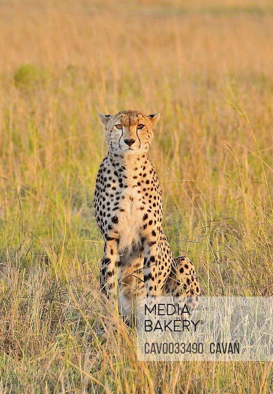 A beautiful cheetah cat