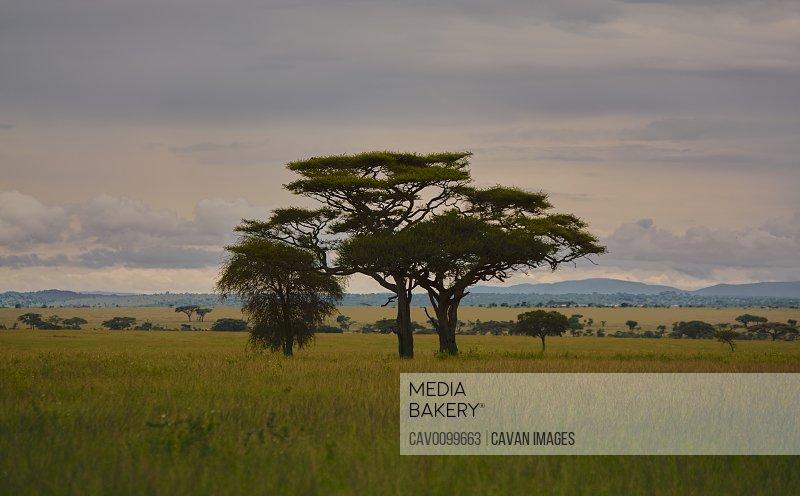 Two acacia trees in the Serengeti sunrise