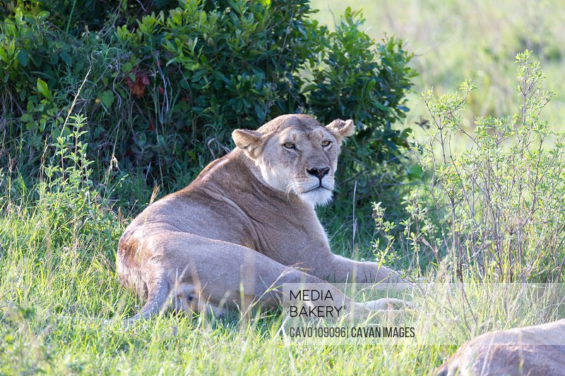 A lioness has made herself comfortable in the grass and is resting